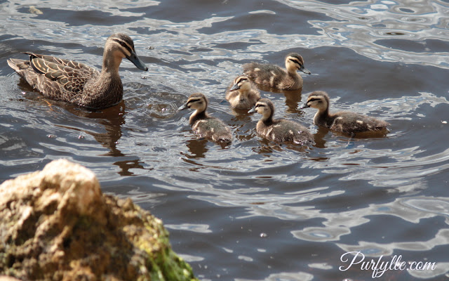 Lady Black Duck explains dabbling techniques to her ducklings