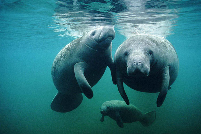 32 Animals That Look Like They're About To Drop The Hottest Albums Of The Year - Manatee-Nevermind