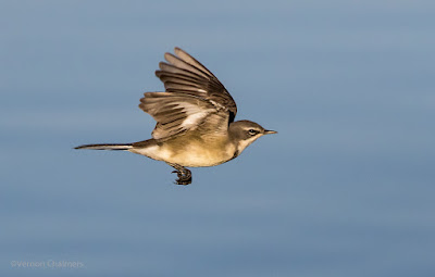 Cape Wagtail by Vernon Chalmers used Without Permission by Rebecca Harris