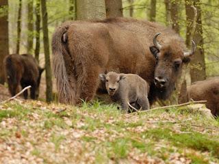 Ver bisontes en Alemania - Wisent-Wildnis am Rothaarsteig