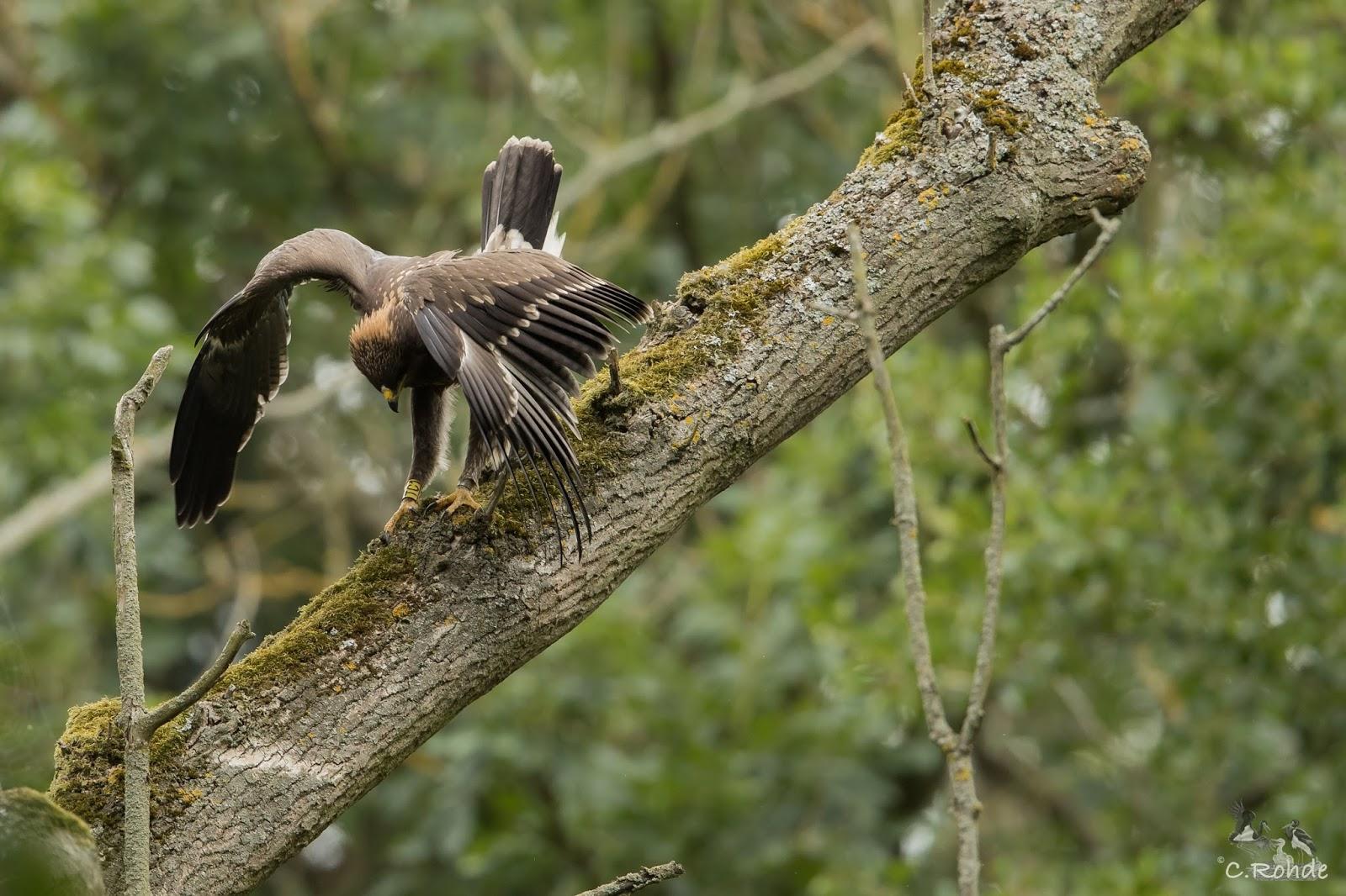 Black Stork Raptor Impressions Clanga Pomarina Résumé 2016
