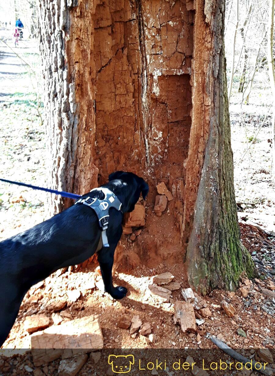 Labrador Baum markieren