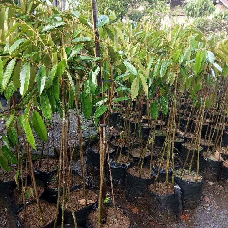 Bibit Durian Musangking kaki 3 Manado