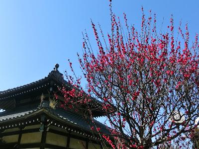 本覚寺の梅