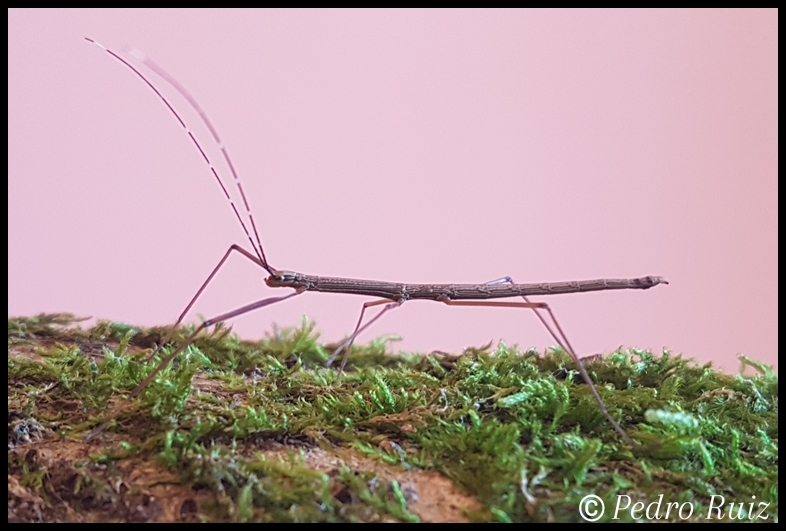 "Ninfa macho L2 de Lamachodes sp ""Bokor"", 2,5 cm de longitud"