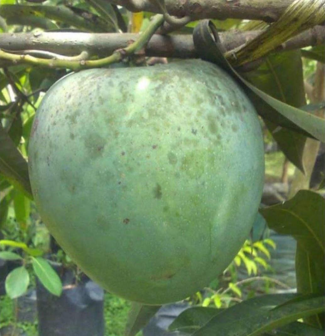 Bibit mangga kelapa Yogyakarta