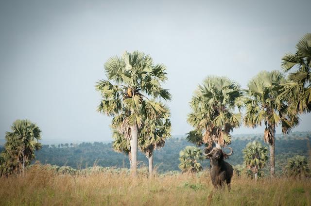 Buffalo; Murchison Falls NP, Uganda