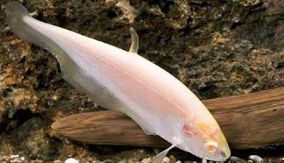 Gambar Ikan White Ghost