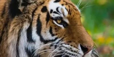 عاجل | الولايات المتحدة تسجل اول حالة اصابة كورونا لحيوان