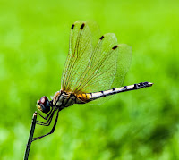 A close up of a gold, black and white dragonfly perched on a stick.