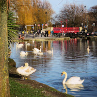 Dublin Pictures: Swans on the Grand Canal