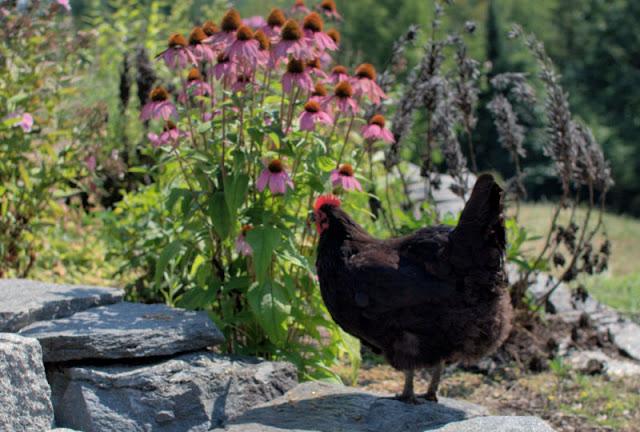 australorp chicken with pink flowers