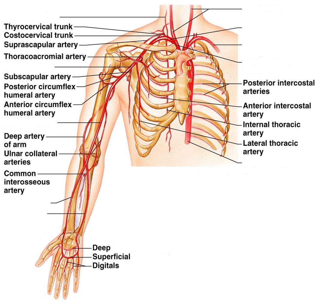 Class Blog Bio 202 Arteries And Veins