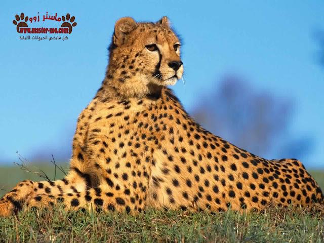 الفهد - النمر الصياد Acinonyx
