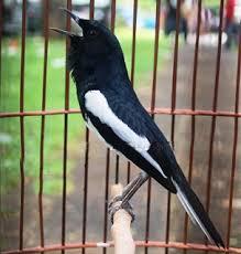 Pemeliharaan Burung Kacer - Pemilihan Sangkar dan Krodong yang Ideal Bagi Burung Kacer
