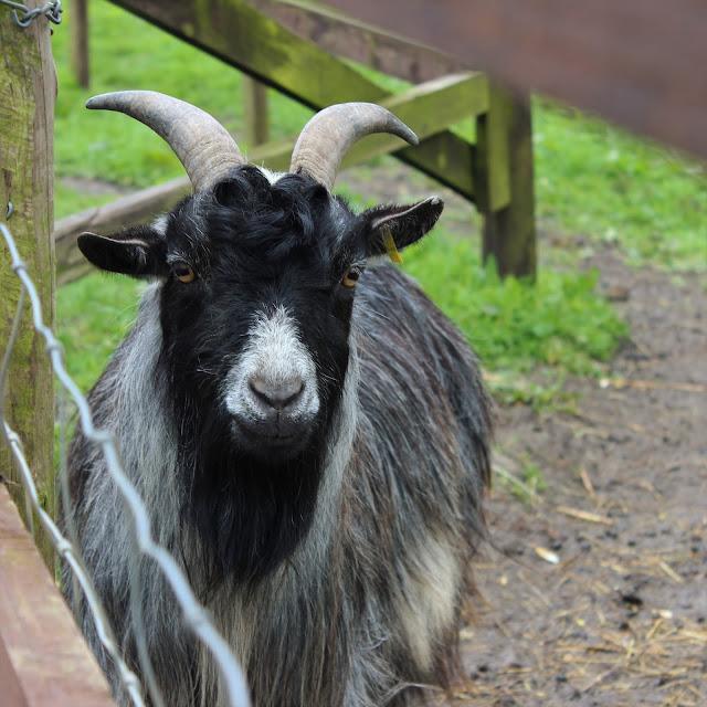 horned black faced goat