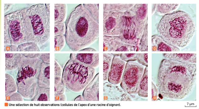 """تحميل درس """"Les divisions cellulaires des eucaryotes"""" بحلة جديدة وفق برنامج 2019 باللغة الفرنسية"""