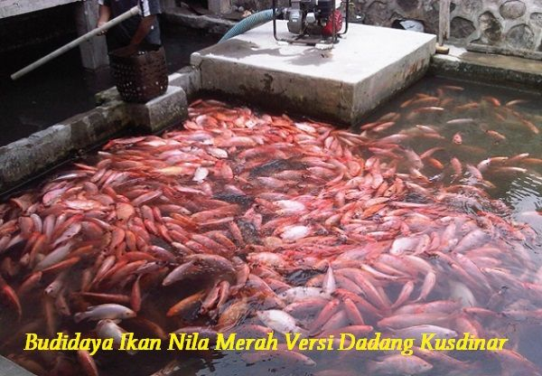 Gambar Budidaya Ikan Nila Merah Versi Dadang Kusdinar