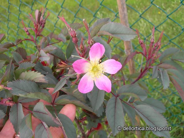 rosa bologna savigno orto valsamoggia ortica zocca fattoria didattica
