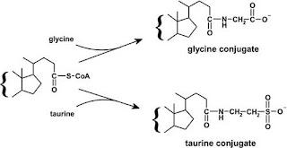 Conjugation of bile salts