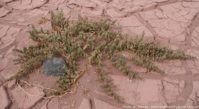 Sclerophylax adnatifolia