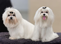 Cute White Maltese Dogs