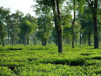 assam tourist places, tourist places at assam, tourist places of assam, tourist places in assam, tourist places in assam, tourist places in assam,tea_garden_in_Dibrugarh