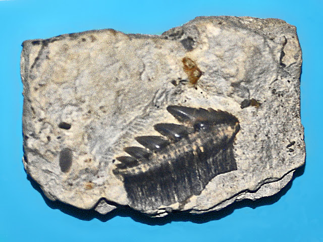 Teeth of Hexanchus andersoni from Jurassic,on display at the Museo Civico di Storia Naturale di Milano