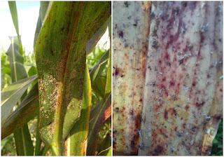 Agricultores de Quixeramobim alertam para infestação de pulgões em sorgo e cobram acompanhamento técnico