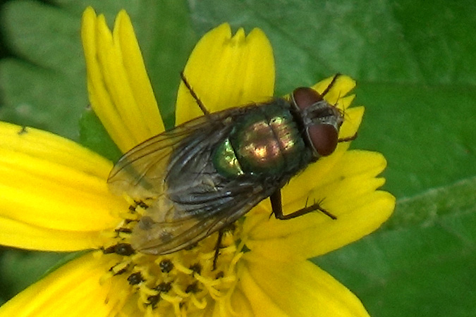 Dlium Common greenbottle fly (Lucilia sericata)