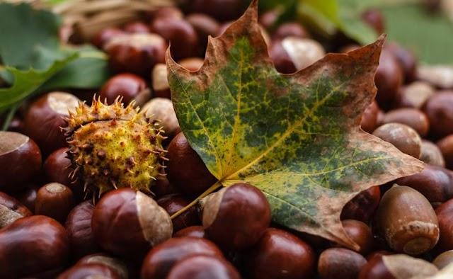 Το κάστανο, η καστανιά και οι θεραπευτικές τους ιδιότητες (Castanea sativa - Καστανιά η ήμερη)