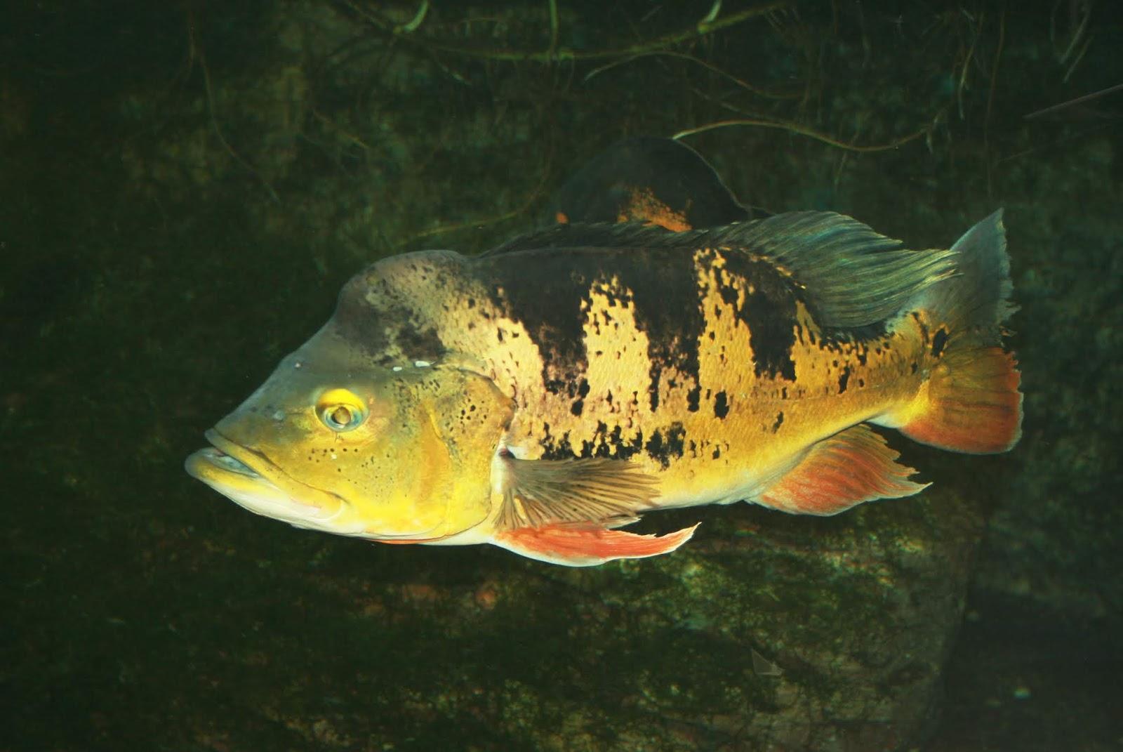 Tucunaré (Cichla ocellaris)