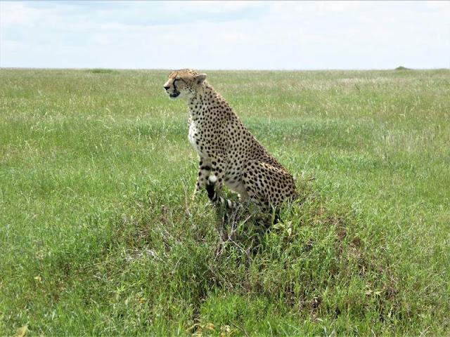 ghepardo prateria del serengeti