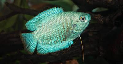 Blue Dwarf Gourami ( Trichogaster trichopterus )