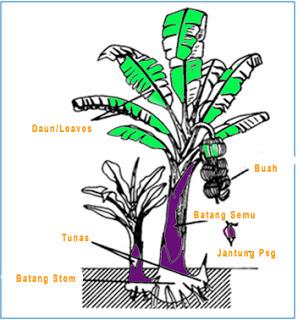 bagian bagian pohon pisang