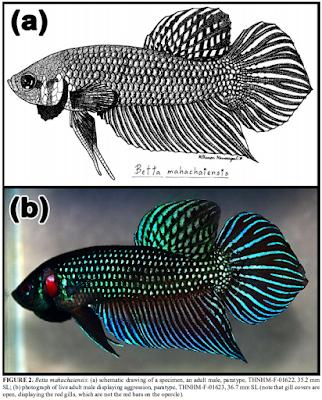 Ikan Cupang Alien (Betta mahachaiensis)