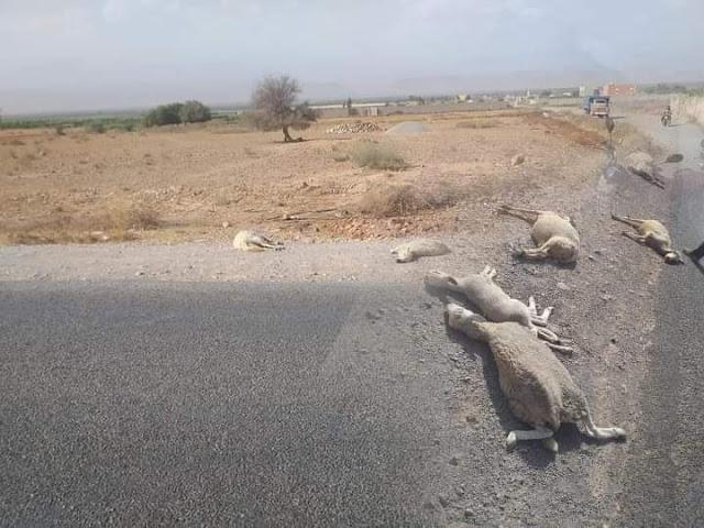 إقليم تارودانت يهتز على وقع عملية دهس قطيع من الأغنام في حادثة سير خطيرة / صورة