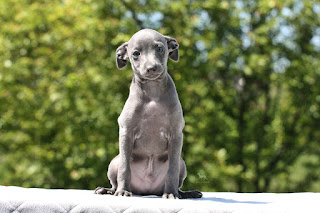 http://www.italiangreyhound.eu/2019/04/boy-2.html
