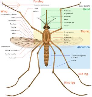 Mengapa Nyamuk Menjadi Resisten dan Susah Dibunuh? Ilustrasi anatomi nyamuk