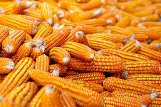 Dried Corn