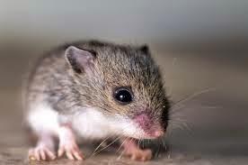 cara jitu mengatasi tikus, cara mudah mengusir tikus dari dalam rumah