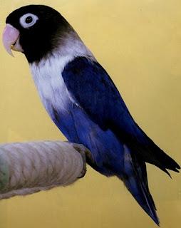 burung lovebird violet, lovebird violet