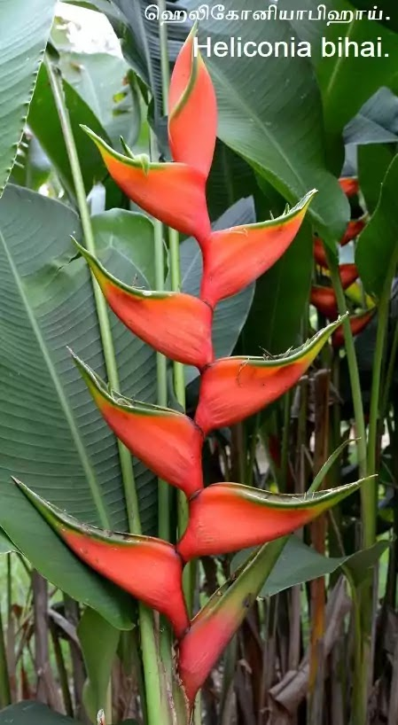 Heliconia bihai - ஹெலிகோனியா பிஹாய் - types of heliconia - Part2.