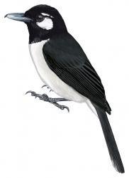 Clytorhynchus sanctaecrucis
