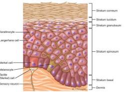 anatomi-kulit-terdiri-dari-3-lapisan-epidermis-dermis-subkutan
