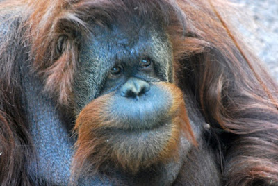 Orangutan ape thinking evolution illogical