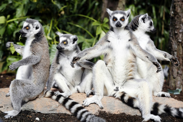 95% of lemur population facing extinction: conservationists