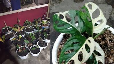 Bunga Janda Bolong Variegata Dengan Harga Fantastik