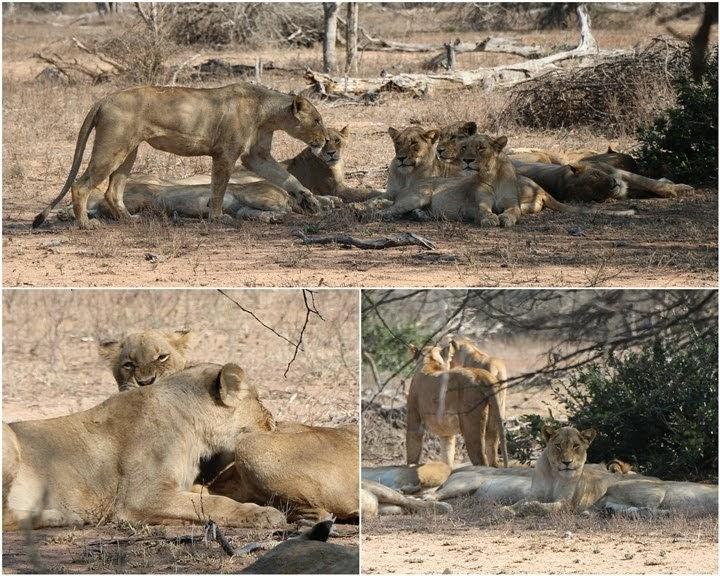 Manada de leones en Tshokwane, Kruger