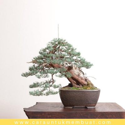 Bonsai Juniperus Occidentalis (Sierra) 3